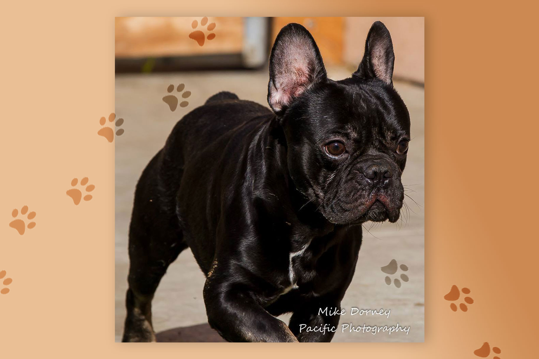 Pine Green: Rescued French Bulldog at WAGS on Craigslist   Unleashed