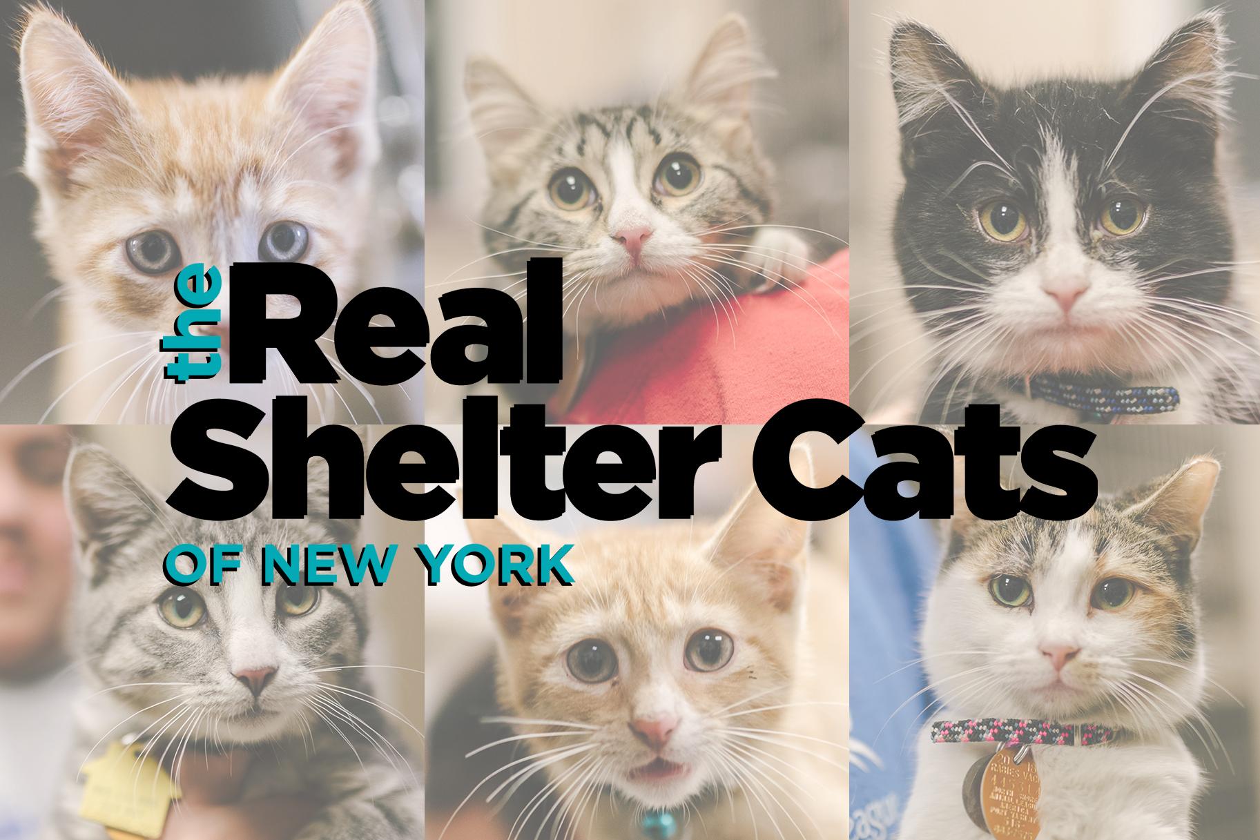 Abyssinian Cat Adoption New York