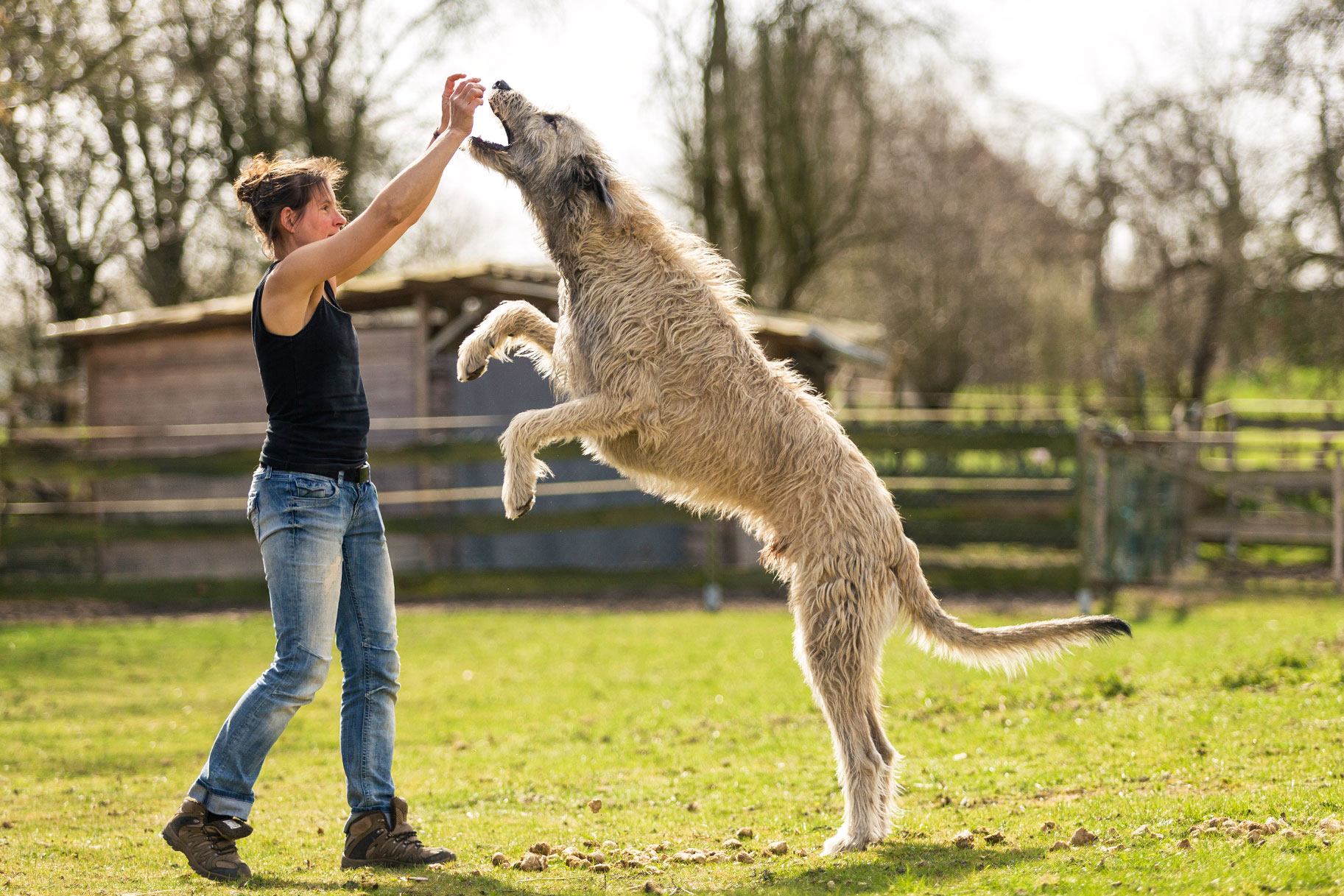 What Are the Tallest Dog Breeds? Irish Wolfhound, Great Dane