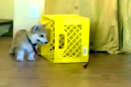 Corgi Puppy Can't Quite Catch Leash, Keeps Trying Anyway