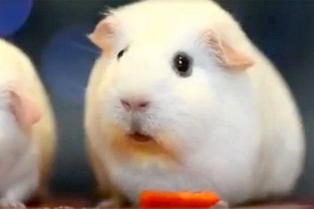 unleashed-guinea-pig.jpg?itok=d6cHLoTW