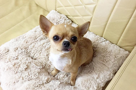 Miso the Singing Chihuahua Should Have Starred in La La Land
