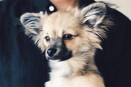 Chihuahua Mixes That Are So Cute Your Brain Will Explode | Unleashed