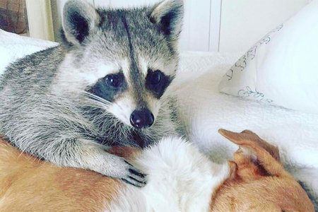 Pumpkin the Raccoon Makes Us Want to Move to the Bahamas