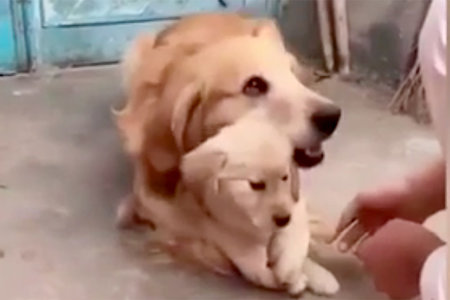 This Golden Retriever Loves His Puppy So Much, Not Even His Owner Can Touch It