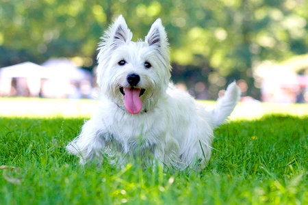 West Highland White Terriers: Facts About Westie Owners