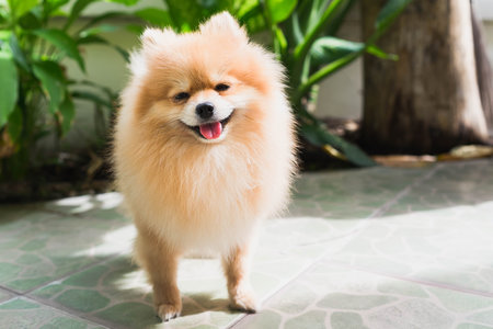 9e3e21d25422 There's a reason that Pomeranians have become one of the most popular  breeds on social media: They look like living, breathing stuffed animals.