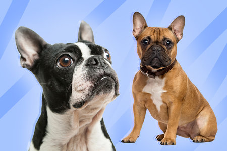 Photo Quiz: Is This a French Bulldog or a Boston Terrier?