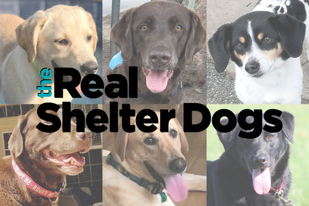Introducing the Real Shelter Dogs of Lab Rescue LRCP — They All Need Homes!